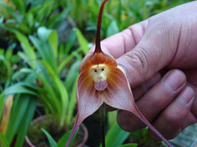 monkey orchid-2