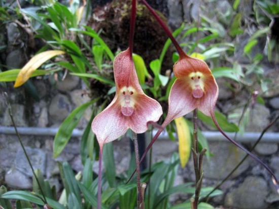 Monkey-orchid-4