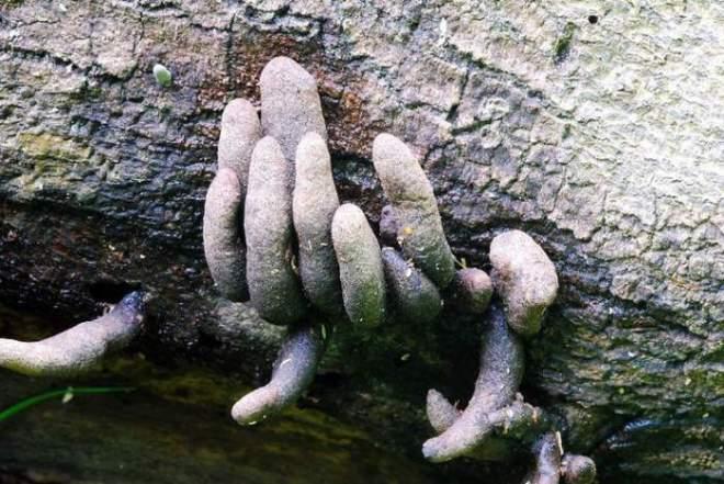 Dead-man-s-fingers-4